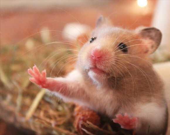приснилась крыса в доме