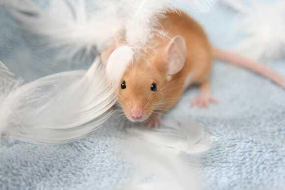 крыса во не на кровати